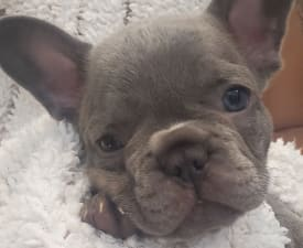 Marvel - French Bulldog Puppy for sale