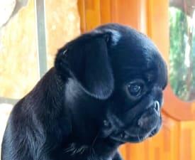 Tibet-gyöngye Evita - Pug Puppy for sale