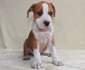 Andrea Bocelli Of Amstaff Planet - American Staffordshire Terrier Puppy for sale