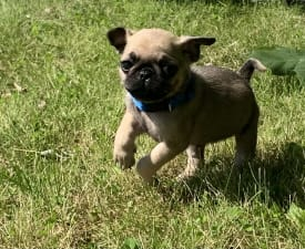 Rocky  - Pug Puppy for sale