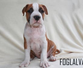 Audrey Hepburn Of Amstaff Planet - American Staffordshire Terrier Puppy for sale