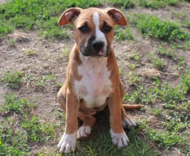 Amy Winehouse Of Amstaff Planet - American Staffordshire Terrier Puppy for sale
