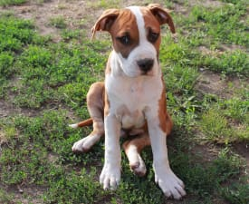 Al Pacino Of Amstaff Planet - American Staffordshire Terrier Puppy for sale