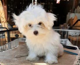 Rex - Havanese Puppy for sale