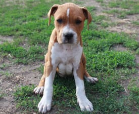 Ariana Grande Of Amstaff Planet - American Staffordshire Terrier Puppy for sale