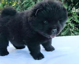 Belfegor  - Chow Chow Puppy for sale