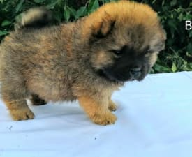 Babett - Chow Chow Puppy for sale