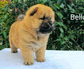 Bella  - Chow Chow Puppy for sale