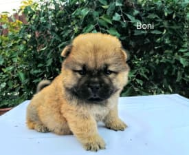 Boni - Chow Chow Puppy for sale