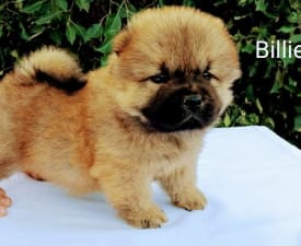Billie - Chow Chow Puppy for sale