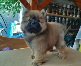 Don Juan  - Chow Chow Puppy for sale
