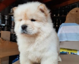 Dancing Quenn - Chow Chow Puppy for sale