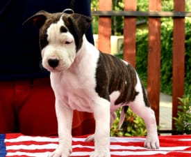 Playboy From Serendipity Staff - American Staffordshire Terrier Puppy for sale