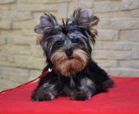 Fozzy Bear - Yorkshire Terrier Angebotener Welpe
