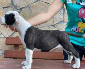 Lio - American Staffordshire Terrier Puppy for sale