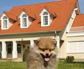 Alex - Pomeranian Cățeluș de vânzare