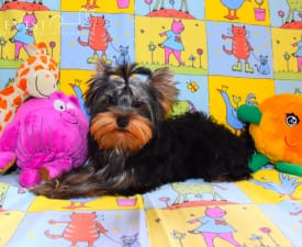 Fozzy Bear - Yorkshire Terrier Puppy for sale