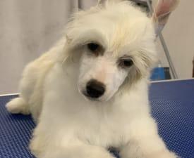 Pp Girl - Китайская хохлатая собака Щенок на продажу