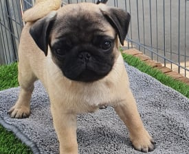Boomer - Pug Puppy for sale
