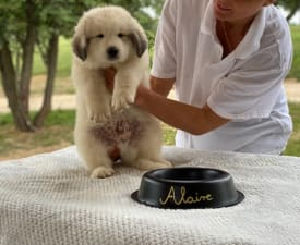 Alaire - Pyrenean Mountain Dog Puppy for sale