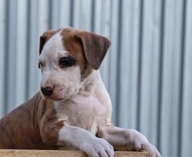 Metaxa Of Overdose - American Staffordshire Terrier Puppy for sale