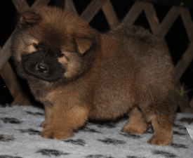 Elvis Presley - Chow Chow Puppy for sale