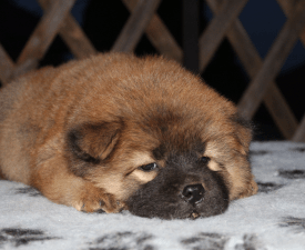 El Salvador - Chow Chow Puppy for sale