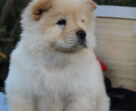Europe - Chow Chow Puppy for sale