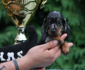 Why Not Hug Me Strongly - Dachshund Puppy for sale