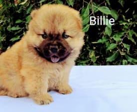 Billie - Chow Chow Angebotener Welpe