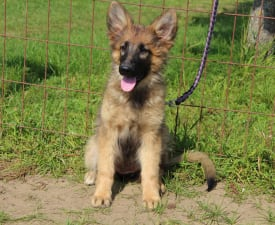 Bakfity - German Shepherd Dog Puppy for sale