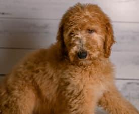 Buddy - Goldendoodle eladó kiskutya