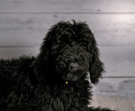 Coco - Goldendoodle Puppy for sale