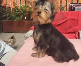 Jerry - Yorkshire Terrier Puppy for sale