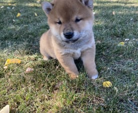 Hedvig - Shiba Puppy for sale