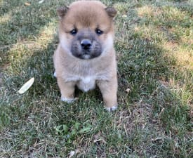 Hont - Shiba Puppy for sale