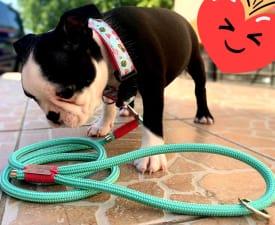 Boston Friend S Agatha - Boston Terrier Angebotener Welpe