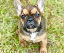 Paloma - French Bulldog Puppy for sale
