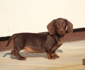 Dió - Dachshund Puppy for sale