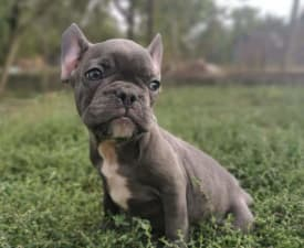 Joe - Francia bulldog eladó kiskutya