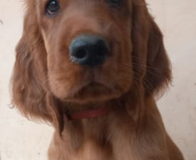 Dönci - Irish Red Setter Puppy for sale