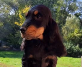 Canberra - English Cocker Spaniel Puppy for sale