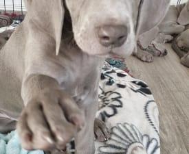 Belinda - Weimaraner eladó kiskutya