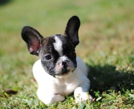 Mike - Francia bulldog eladó kiskutya