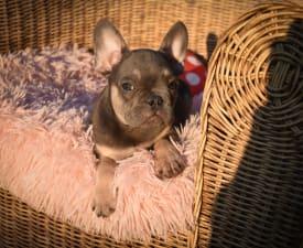 Harry - Francia bulldog eladó kiskutya