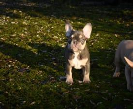 Feri - Francia bulldog eladó kiskutya