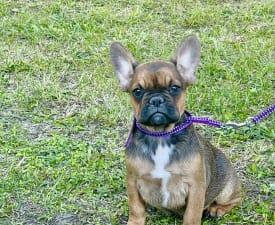 Paloma - Francia bulldog eladó kiskutya
