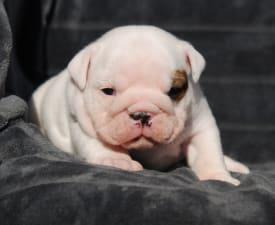 Rengőhegyi-ormán Helena - Bulldog Puppy for sale