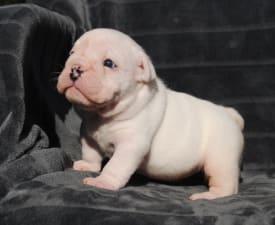 Rengőhegyi-ormán Hedwig  - Bulldog Puppy for sale