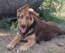 Töki - German Shepherd Dog Puppy for sale